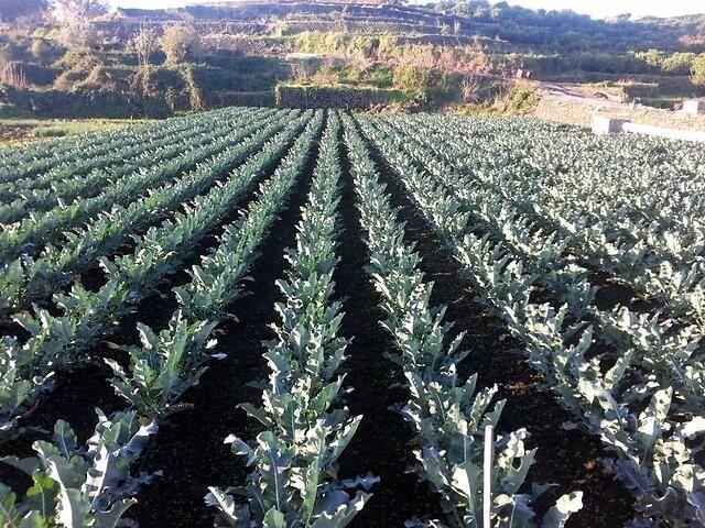 orto di cavolo broccolo