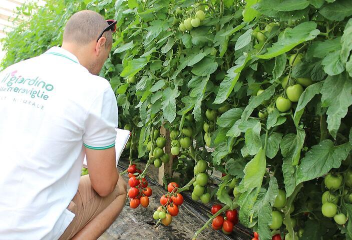 Pomodoro pronto per la raccolta