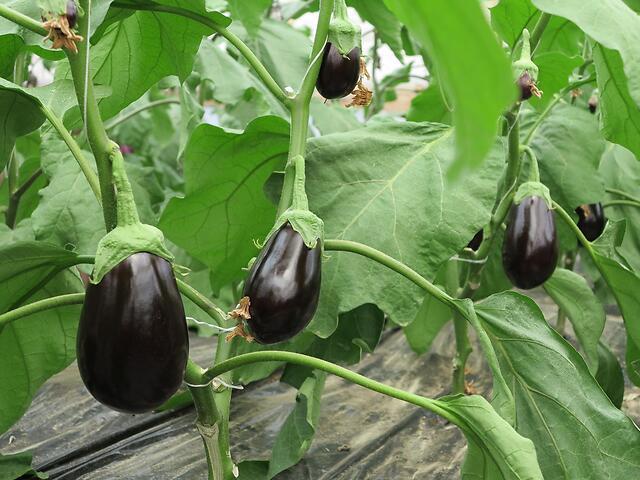 Piante di melanzana ovale nera
