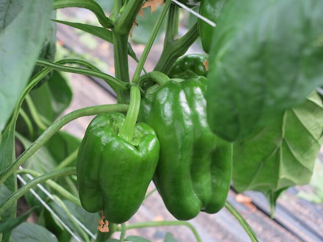 Primi frutti di peperone