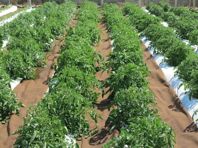 Pomodoro in pieno campo