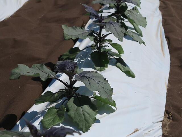 Trapianto di melanzana violetta