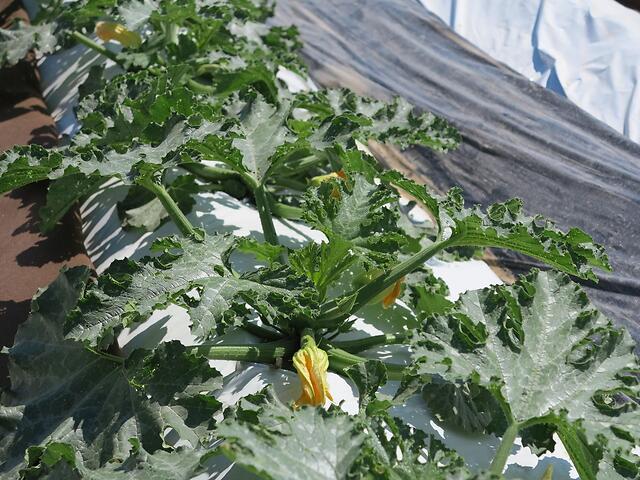 Trapianto di zucchino verde scuro