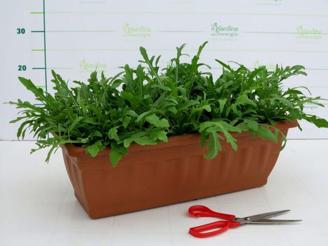 rucola in balconetta