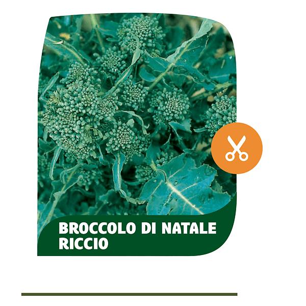 Broccolo di Natale riccio