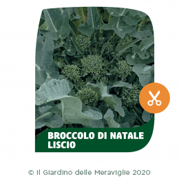 Broccolo di Natale liscio Casertano