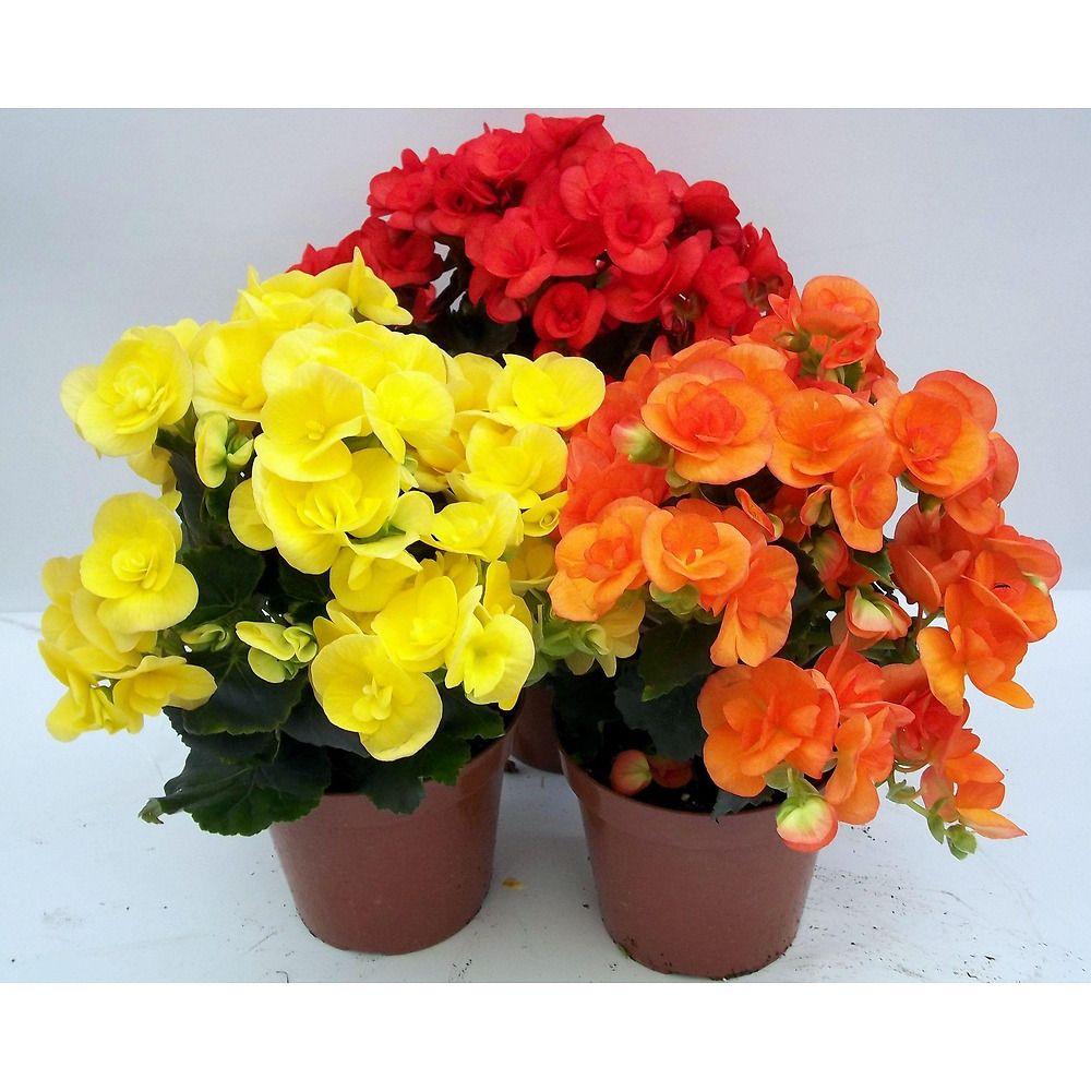 Piante Da Appartamento Begonia.La Begonia Elatior E Un Pianta Annuale Dai Fiori Molti Grandi