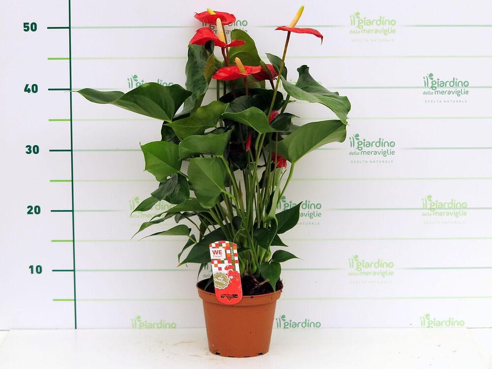 Anthurium anturio araceae for Piante da frutto a 1000 metri