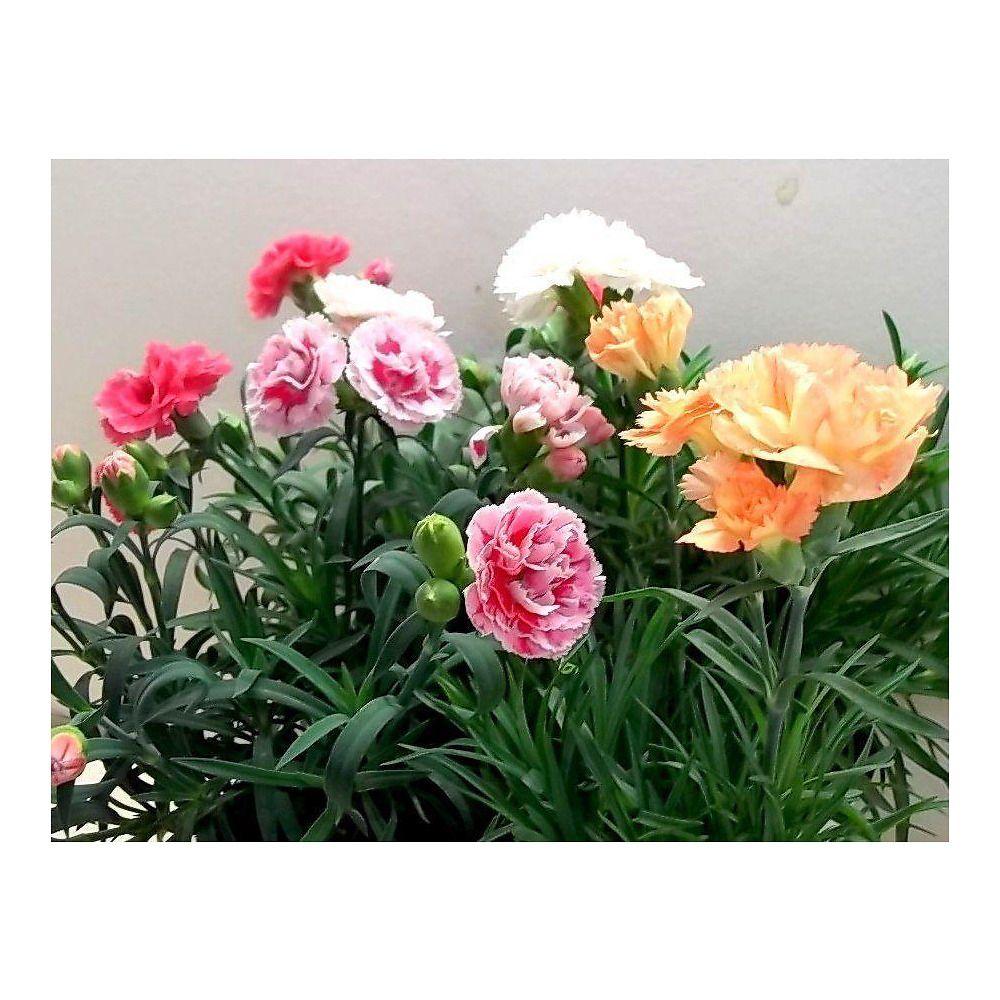 Composizione Vasi Da Balcone garofano nano sunflor: pianta fiorita da giardino per
