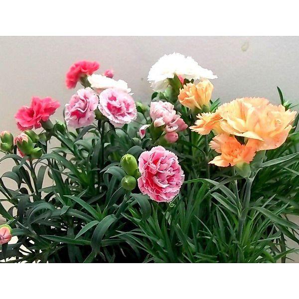 Garofano nano sunflor (Dianthus spp.)