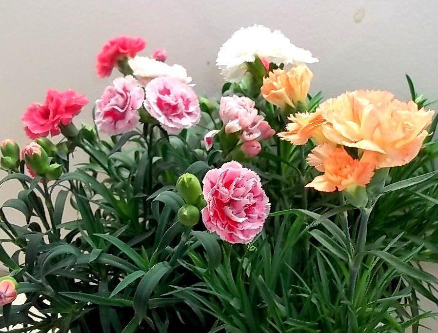 Garofano nano sunflor pianta fiorita da giardino per - Immagini di aiuole da giardino ...