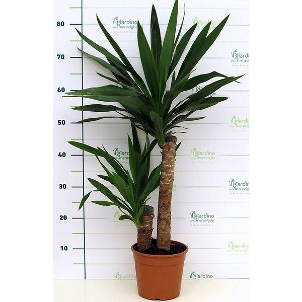 Yucca (tronchetto della felicità)