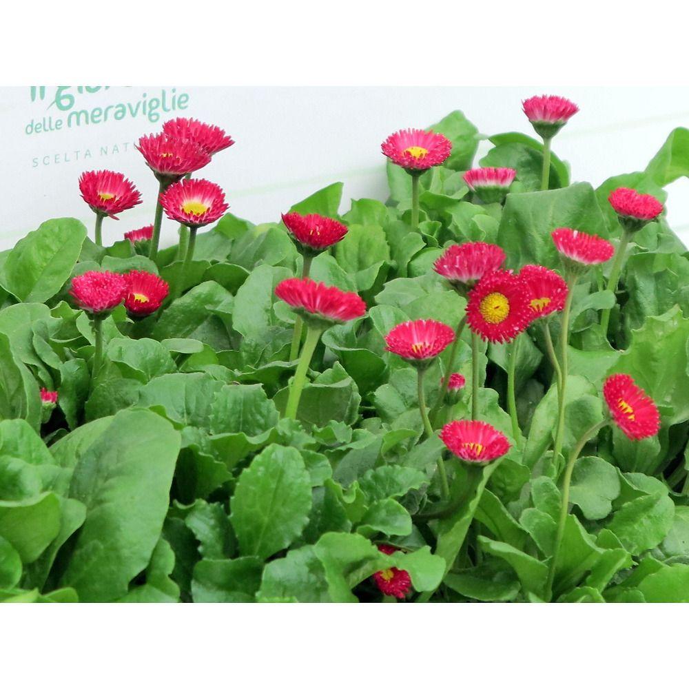 Piante Per Aiuole Perenni pratolina (margheritina comune, bellis) pianta da fiorita da