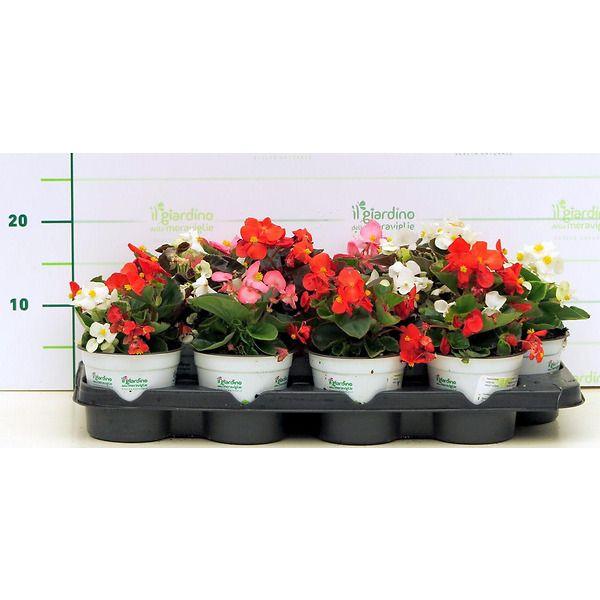 Begonia (begonietta)