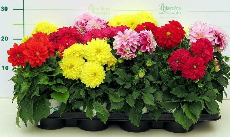 Piante da fiore dalia - Calendario trattamenti piante da frutto ...