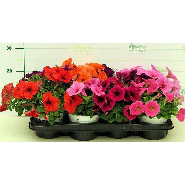 Potunia multiflora