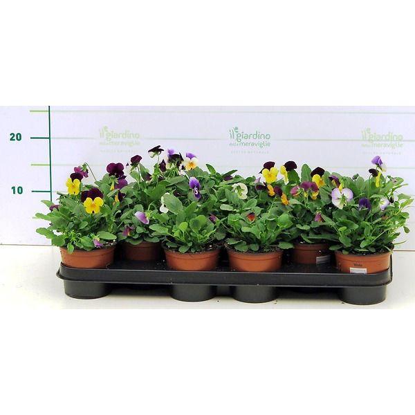 Viola mini