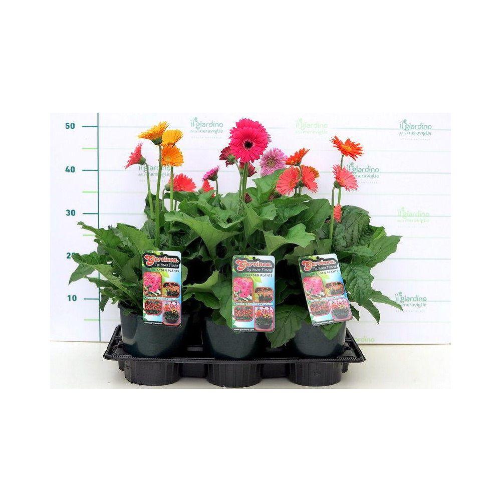 Coltivare Fiori Da Recidere fiori gerbera da giardino