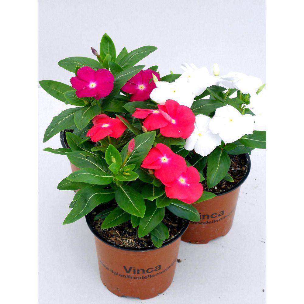 Fiori Da Balcone Ombra vinca (pervinca, sposini): pianta perenne con fioritura