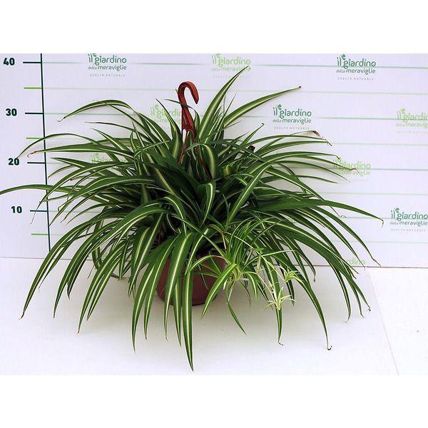 Chlorophytum, Nastrino, Clorofito, Falangio,