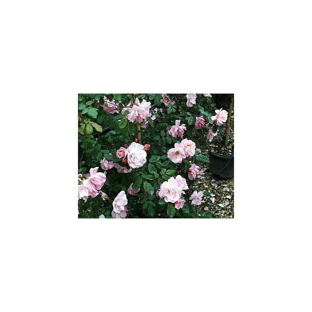 Piante Di Rose Rampicanti rose rampicanti
