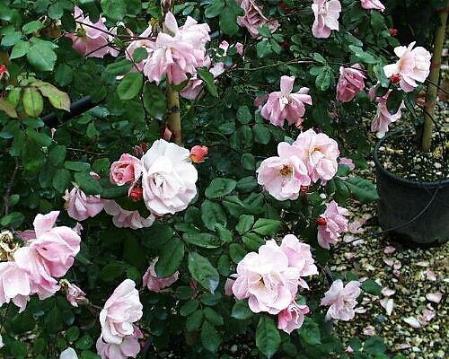 Rose rampicanti for Siepi perenni fiorite