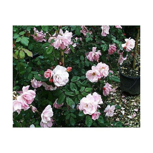 Rose rampicanti profumate