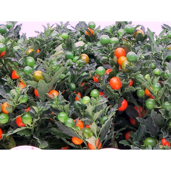 Solanum pseudocapsicum (ciliegia di gerusalemme)