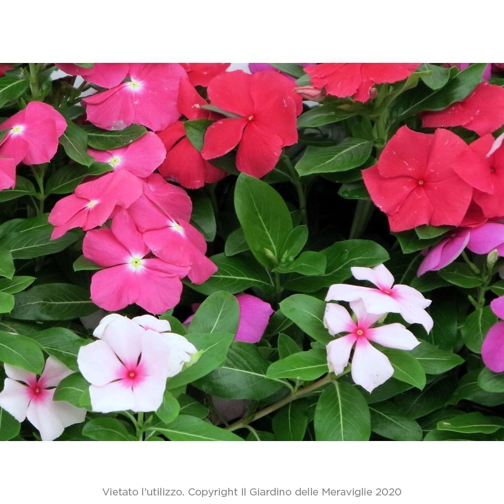 Fiori Perenni Da Balcone vinca (pervinca, sposini): pianta perenne con fioritura