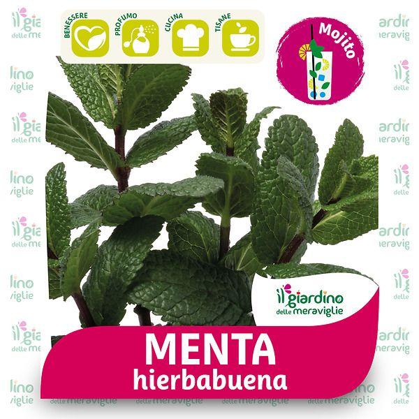 Menta HIERBABUENA