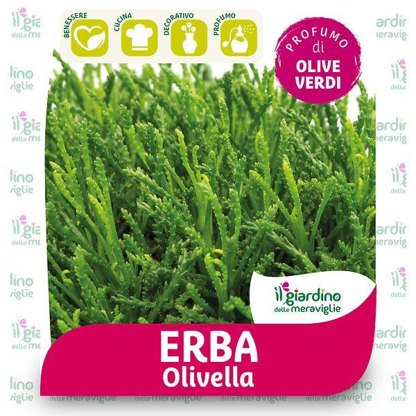 Erba olivella (santolina viridis)