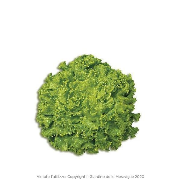 Lattuga gentilina verde