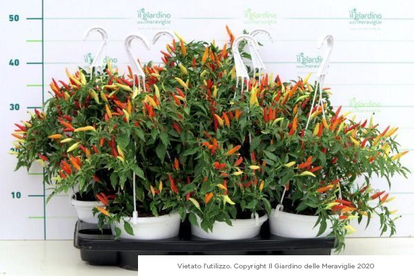 Peperoncino piccante Basket of Fire