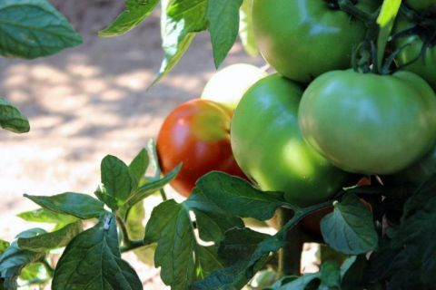 pomodoro a crescita indeterminata