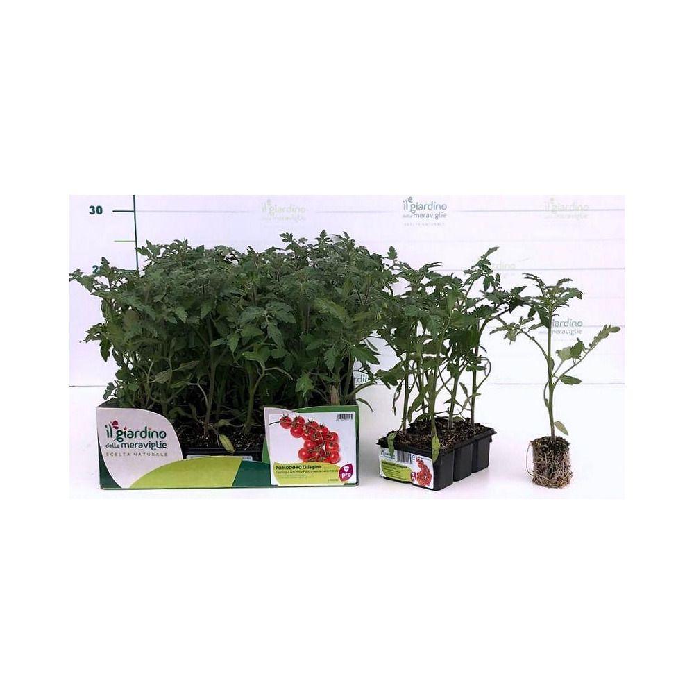 Sostegni Per Pomodori In Vaso pomodoro ciliegino tip. naomi