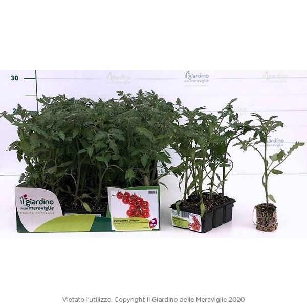 pomodoro ciliegino naomi il giardino delle meraviglie