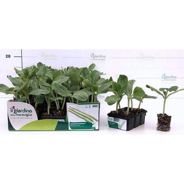 Zucchino pergola lagenaria lunga de Il giardino delle Meraviglie