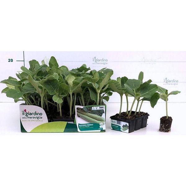 Zucchino Pergola corto da tenerumi de Il Giardino delle Meraviglie