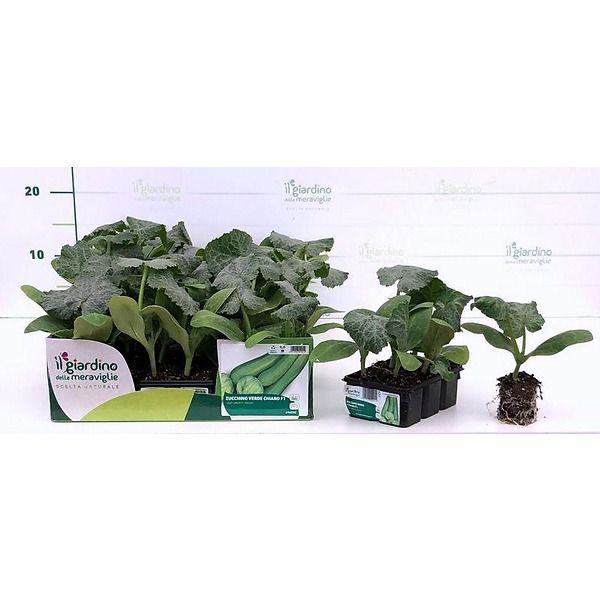 zucchino verde chiaro il giardino delle meraviglie