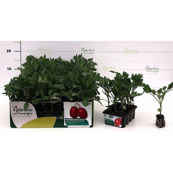 Pomodoro per salsa tipologia Missouri de Il Giardino delle Meraviglie