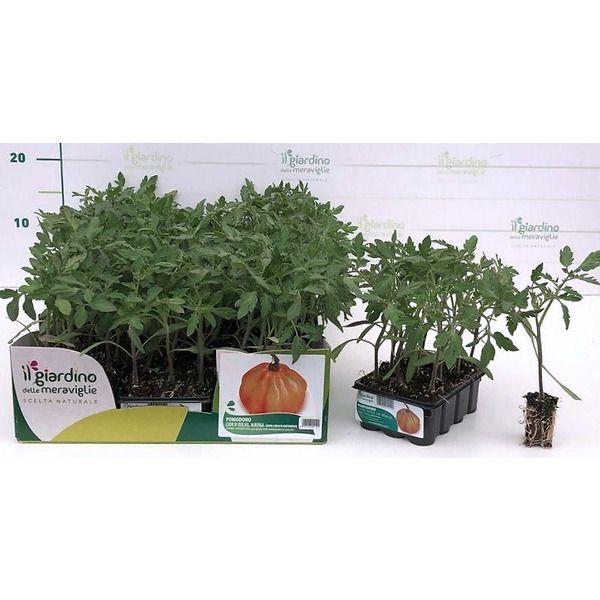 Pomodoro Cuore di bue selezione Albenga de Il Giardino delle Meraviglie