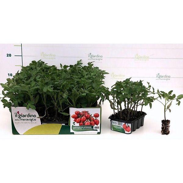 Pomodoro da appendere Principe Borghese de Il Giardino delle Meraviglie