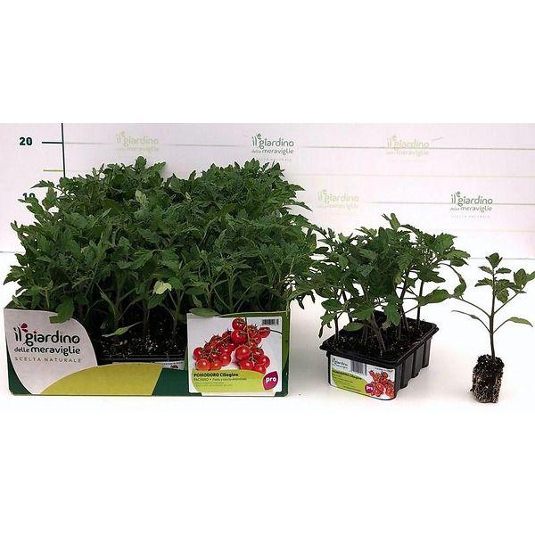 Pomodoro ciliegino Pachino de Il Giardino delle Meraviglie