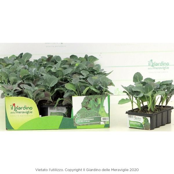 Cavolo broccolo green belt il giardino delle meraviglie