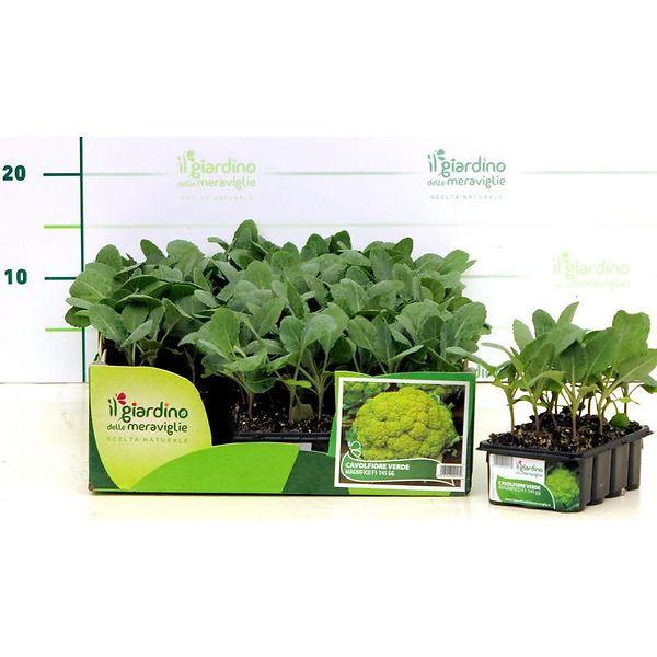 Cavolfiore verde magnifico il giardino delle meraviglie