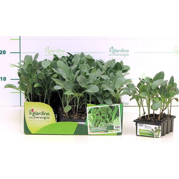 Broccoletto a getti verdi Sparacello palermitano