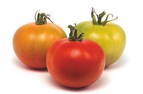 Pomodori a crescita indeterminata (con tutore)
