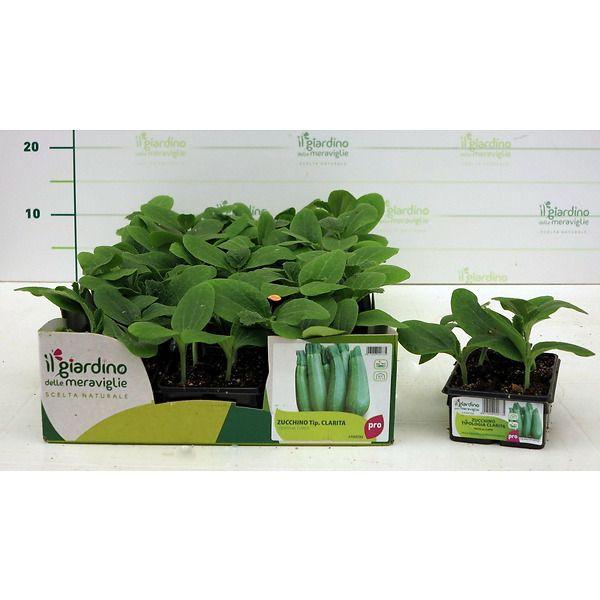 zucchino clarita il giardino delle meraviglie