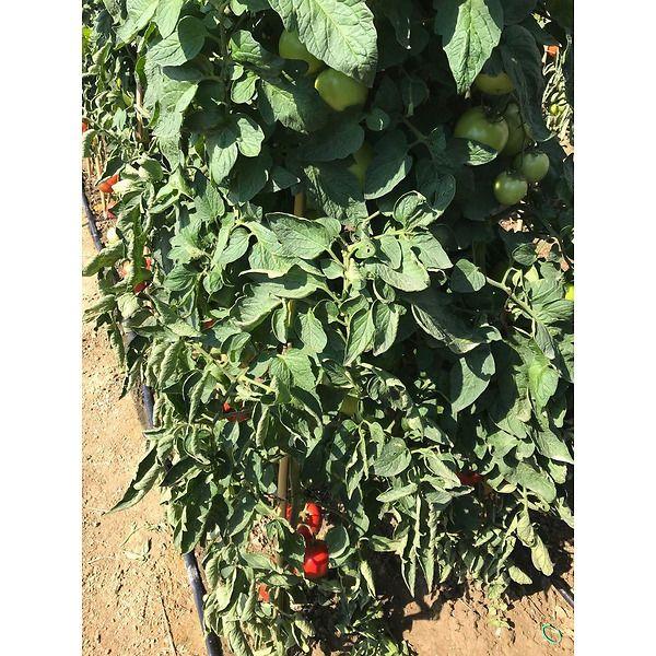 pomodoro tip. izabella pianta