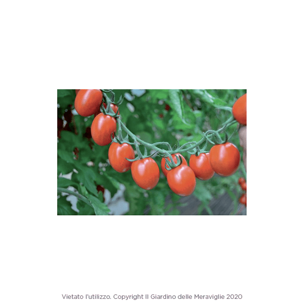 Pomodoro datterino tutti frutti